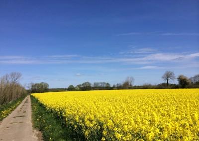 Rapsblüte im Frühling Geltinger Birk